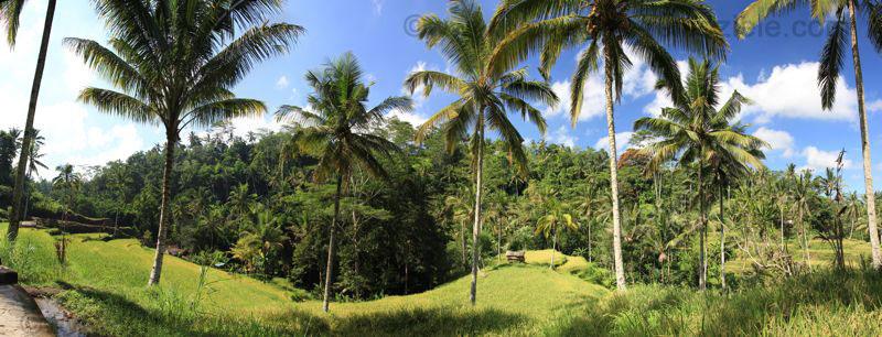 Palmen und Reisfelder bei Gunung Kawi