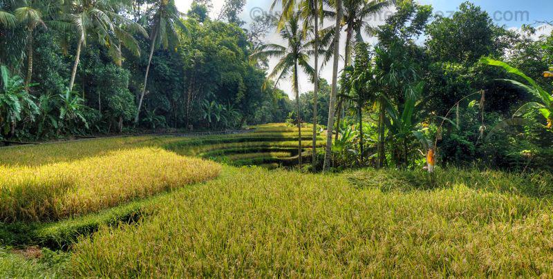 Reisfelder beim den Königsgräbern von Gunung Kawi