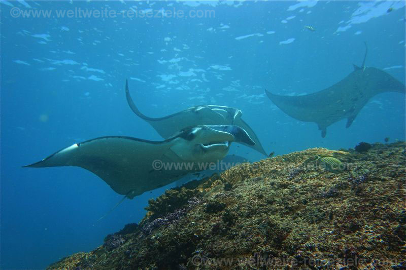 Mantas am Manta Point, Bali