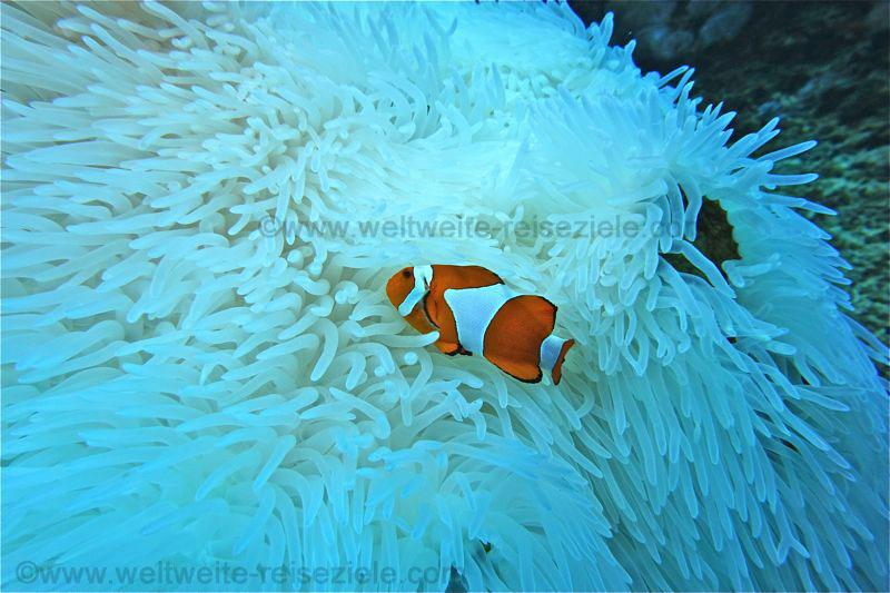 Clownfisch auf weisser Anemone beim Tauchgang Westseite von Nusa Penida