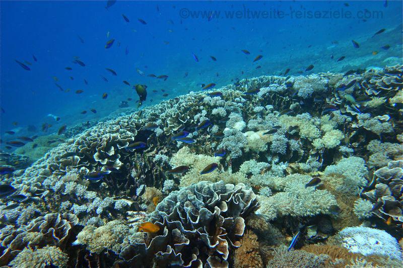 Bunte Fische und Korallen am Riff, südlich Nusa Penida, Bali