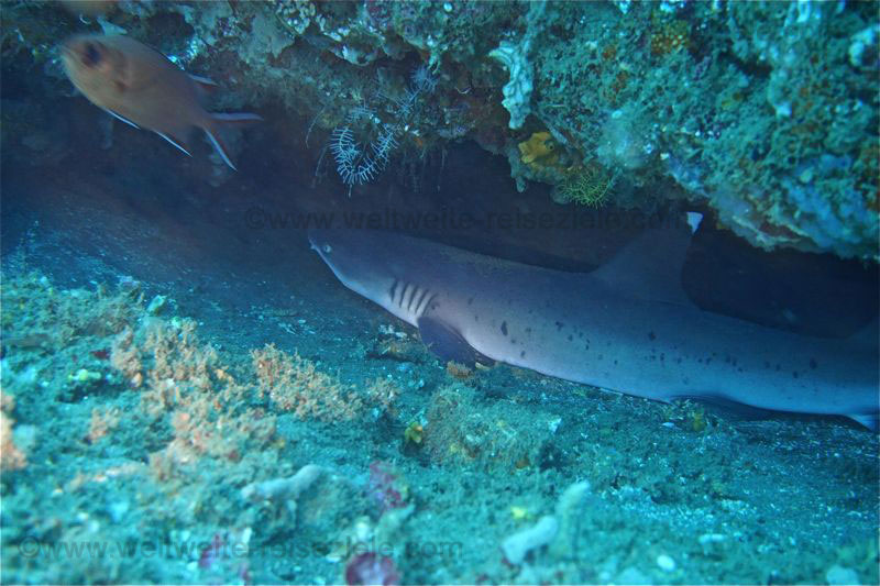 Schlafender Hai in Höhle Padang Bai Bali