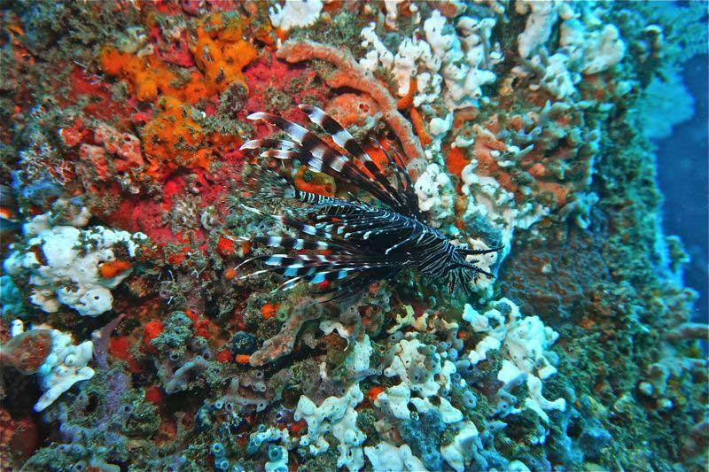 Schwarzer Feuerfisch am Pfosten, Jetty, Bali