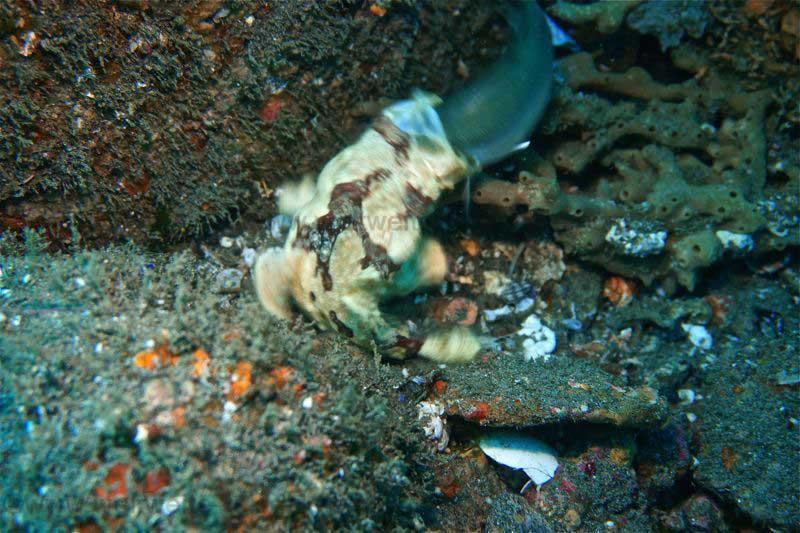 Himmelsgucker verschluckt Beute Fisch, Padang Bay, Jetty, Bali