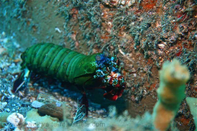 Grün, blau roter Fangschreckenkrebs Jetty, Bali