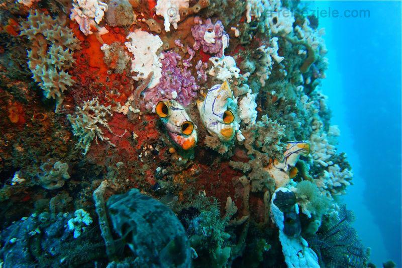 Bunte Korallen und Schwämme an einem Stempen, Jetty, Padang Bai