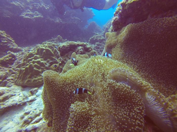 Dunkle Clownfische in ihrer Anemone an einem Tauchrevier vor Redang