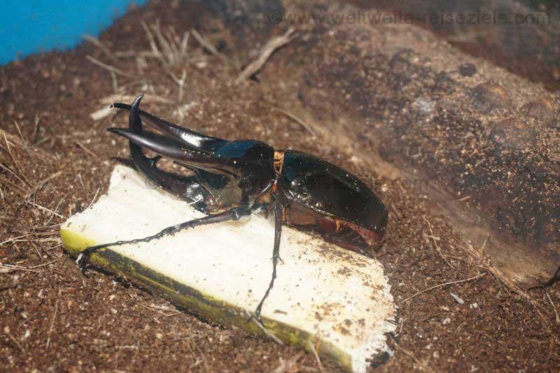 Grosser brauner Käfer im Schmetterlingshaus