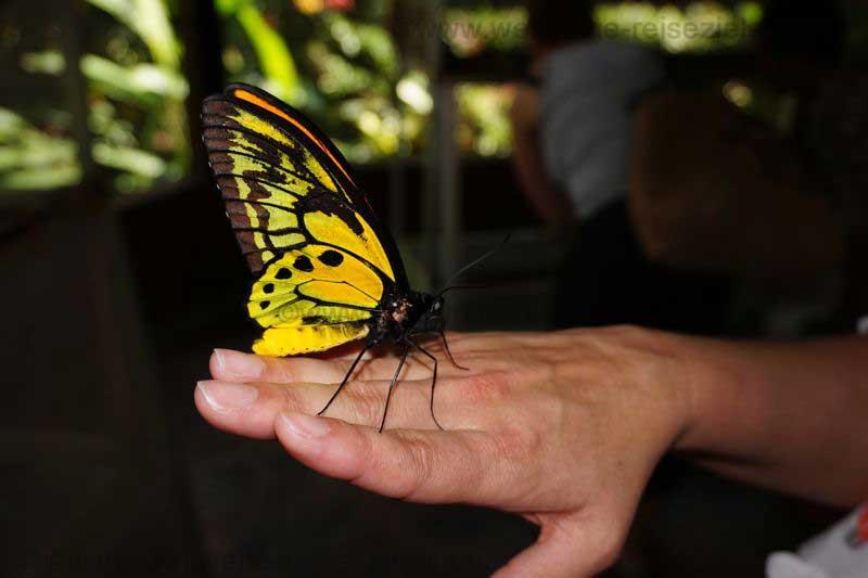 Gelb schwarzer grosser Schmetterling, Bali