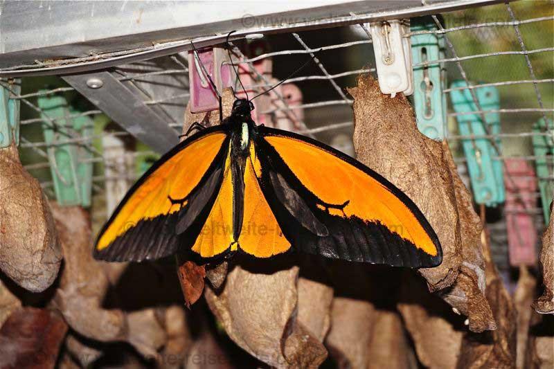 Orange schwarzer Schmetterling, Schmetterlingshaus Bali