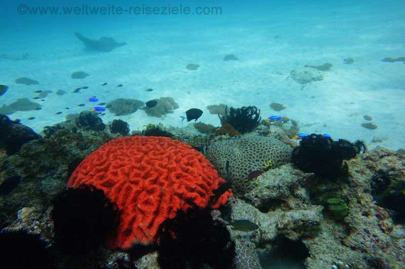 Rote Koralle, Tauchen Blue Lagoon bay, Padang Bai