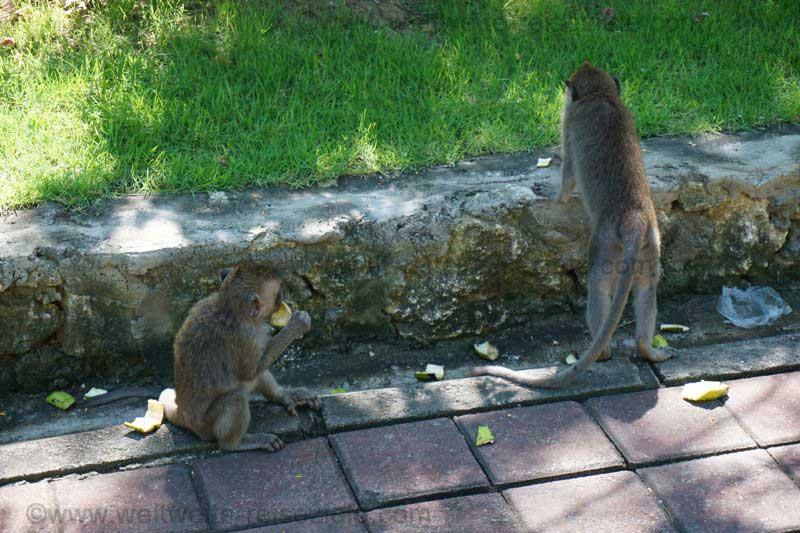 Affen im Tempelbezirk von Uluwatu, Bali