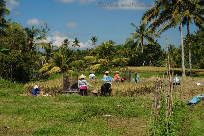 Reisernte auf Reisfeldern beim den Königsgräbern von Gunung Kawi, Bali