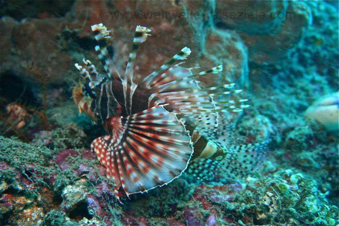 Rotfeuerfisch, Bali