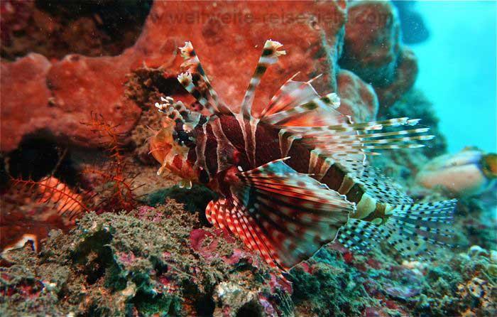 Rotfeuerfische, Tauchgang Blue Lagoon, Bali