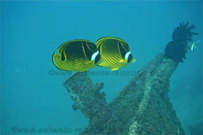Gelb schwarz weisse Fische vor Wrackteil, Tauchen Bali Osten