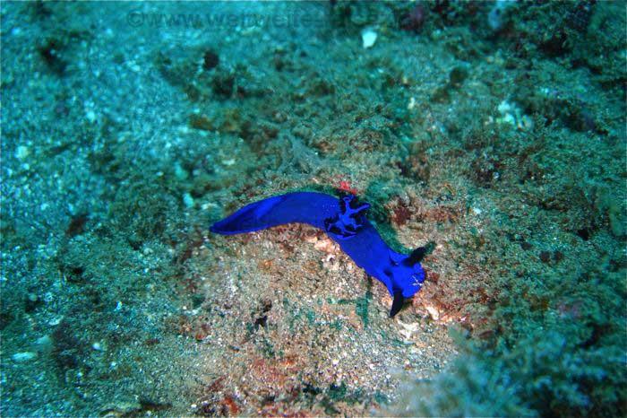 Blaue Nacktschnecke, Tauchgang Padang Bai