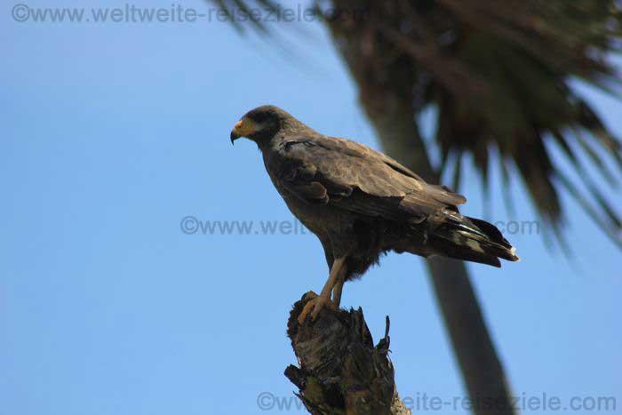 Greifvogel Kuba