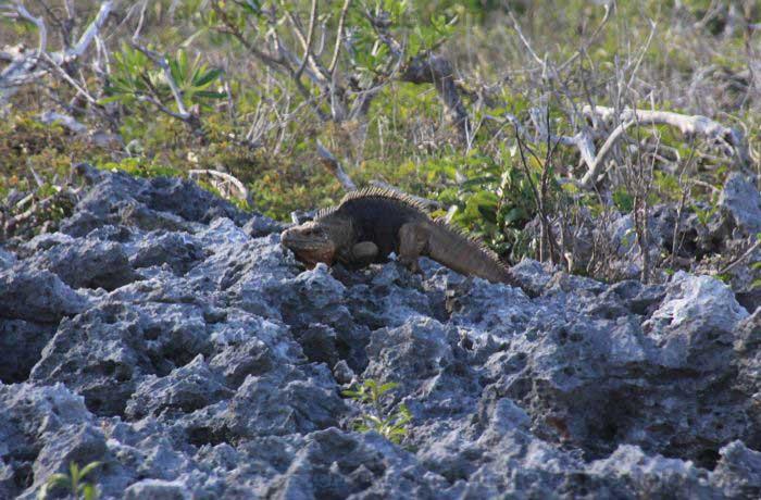 Leguan in Guanahacabibes