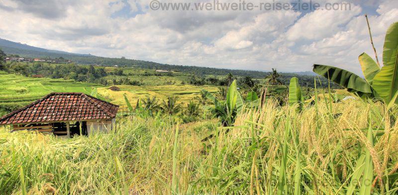 Reisterrassen mit Bauernhaus bei Jatiluwih, Bali