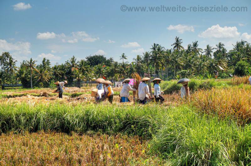 Frauen bei der Reisernte auf einem Feld in Bali
