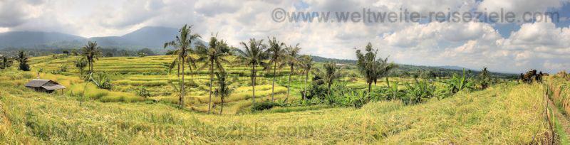 Panorama Reisterrassen und Palmen bei Jatiluwih Bali