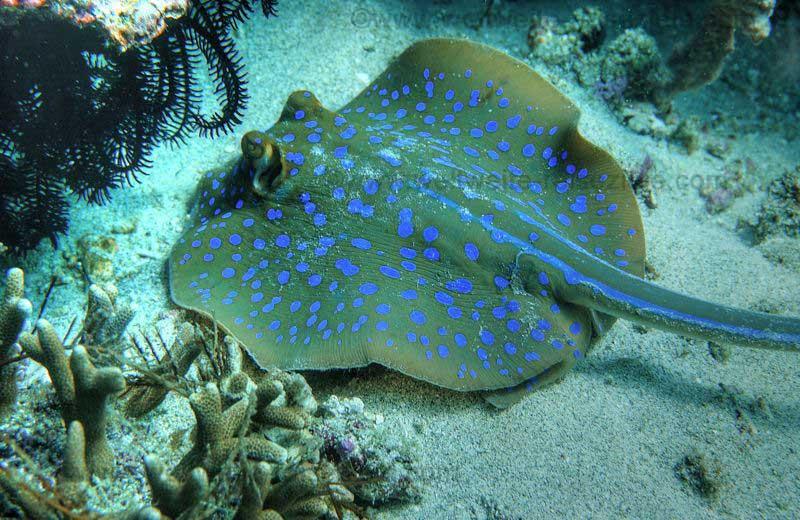Blau gepunkteter Rochen, Tauchspot Blue Lagoon bay, Bali