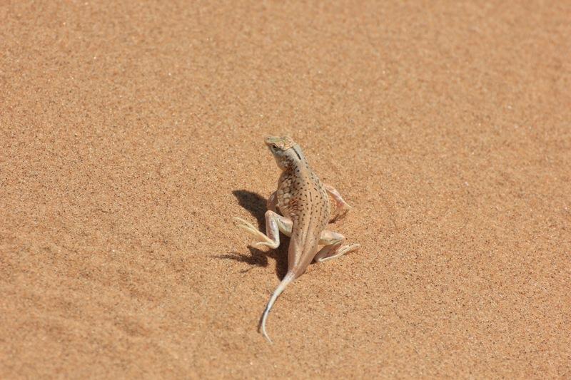 Echse im Sand