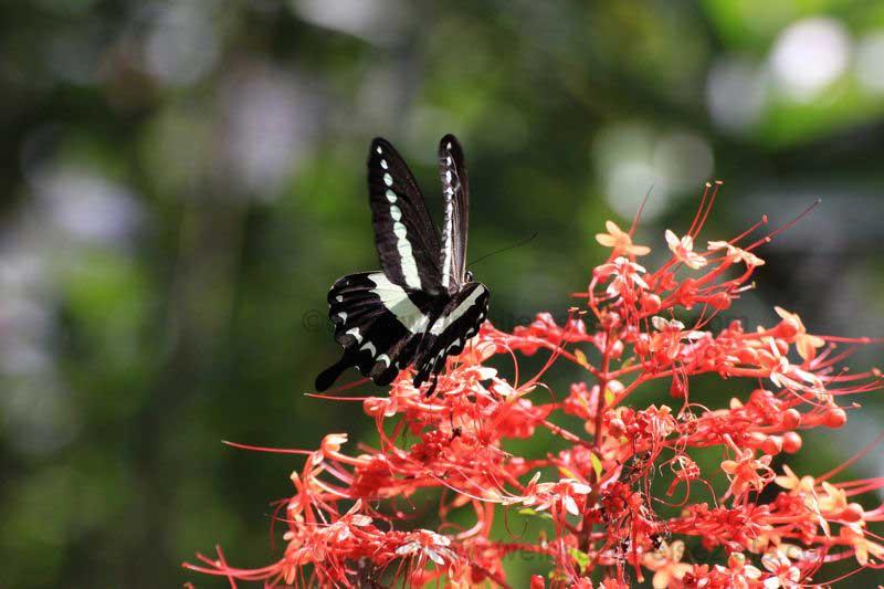 Schmetterling in Bali