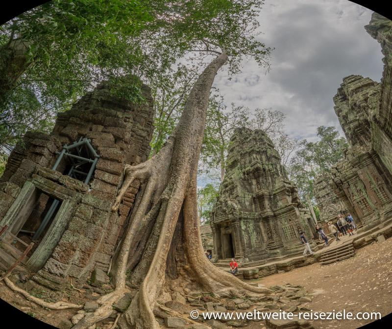 Tempeltürme mit riesigem Baum von Ta Prohm