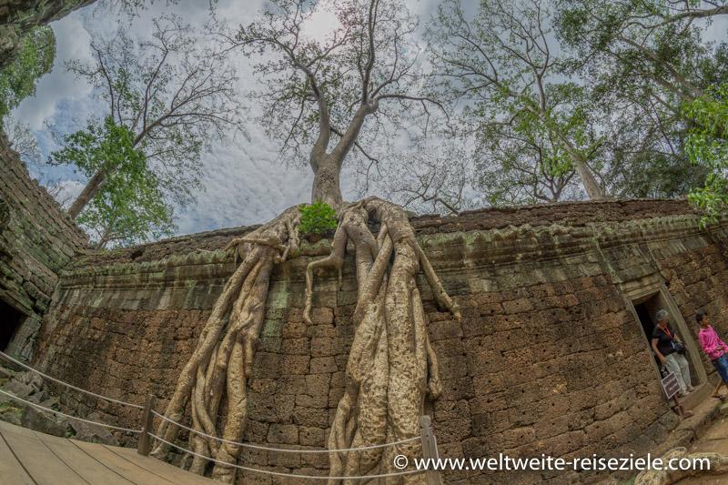 Wurzeln überwachsen eine Mauer im Ta Prohm Tempel