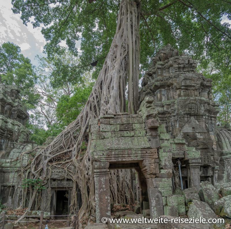 Wurzeln über den Resten des Ta Prohm Tempel