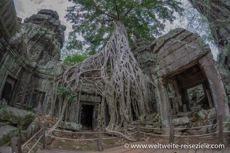 Baum mit riesigen Wurzeln überwächst die Ta Prohm Tempelanlage