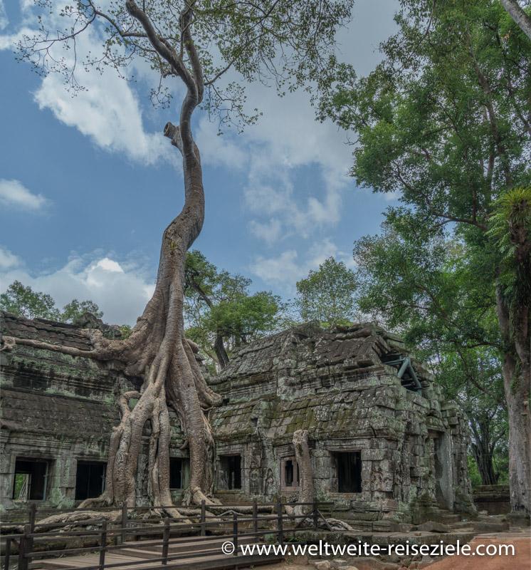 Mit Wurzeln und Baum überwachsener Tempel von Ta Prohm