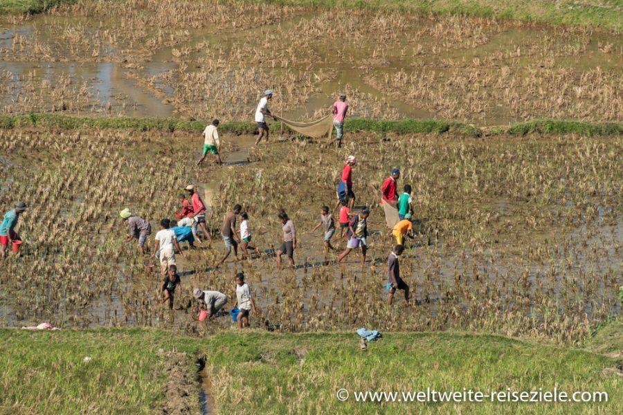 Einheimische Madagassen im Reisfeld beim Fangen von Krebsen und Fröschen