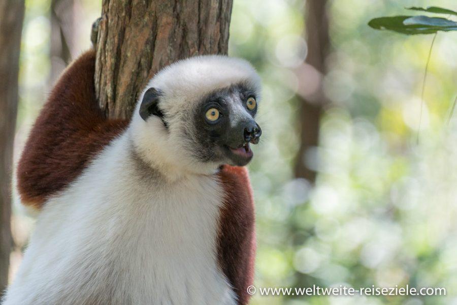Braun weisses Coquerel Sifaka (Propithecus coquereli), Lemur, im Peyrieras Park