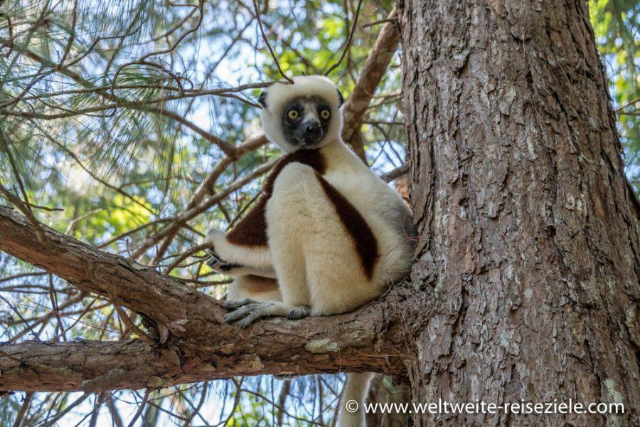 Lemur, Coquerel Sifaka (Propithecus coquereli) sitzt auf einem Ast
