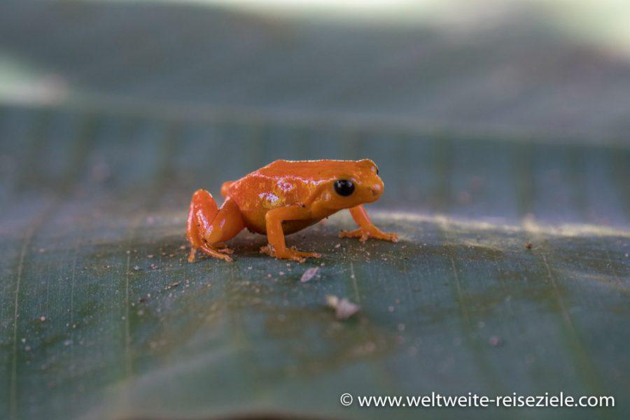 Roter Madagaskar Buntfrosch (Fam. Mantella)