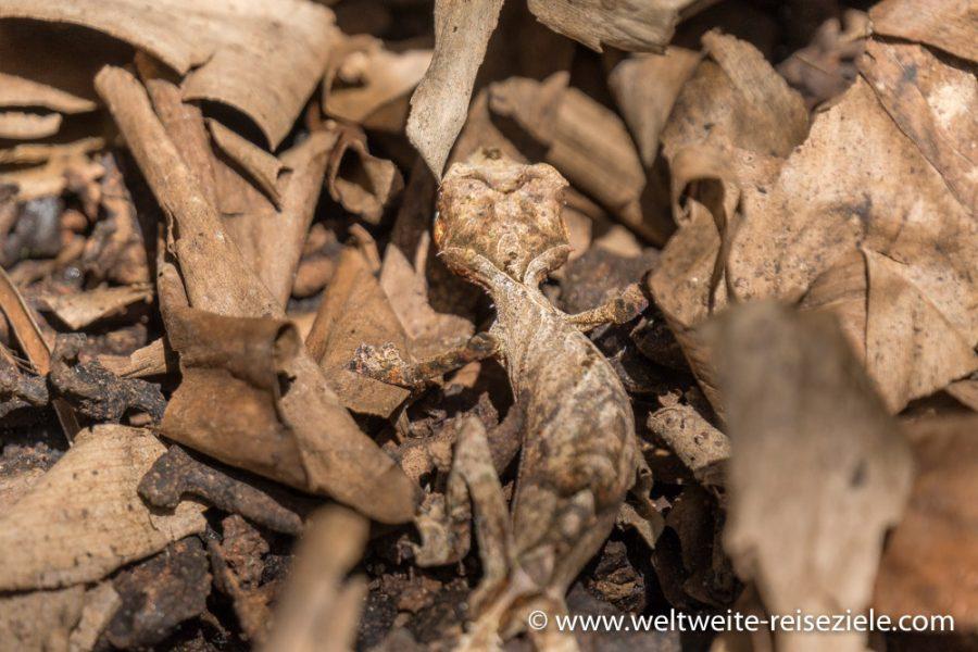 Blattschwanzgecko auf Laub, Madagaskar