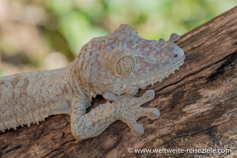 Kopf und Füsse, Riesen Plattschwanzgecko (Uroplatus Fimbriatus) im Peyrieras Park