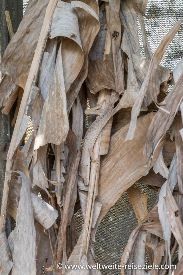 Uroplatus Lineatus, Bambus Plattschwanzgecko, Park von Peyrieras