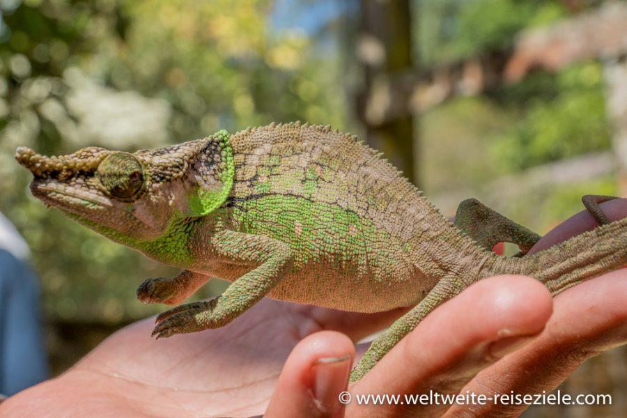 Grünes Chamäleon auf der Hand