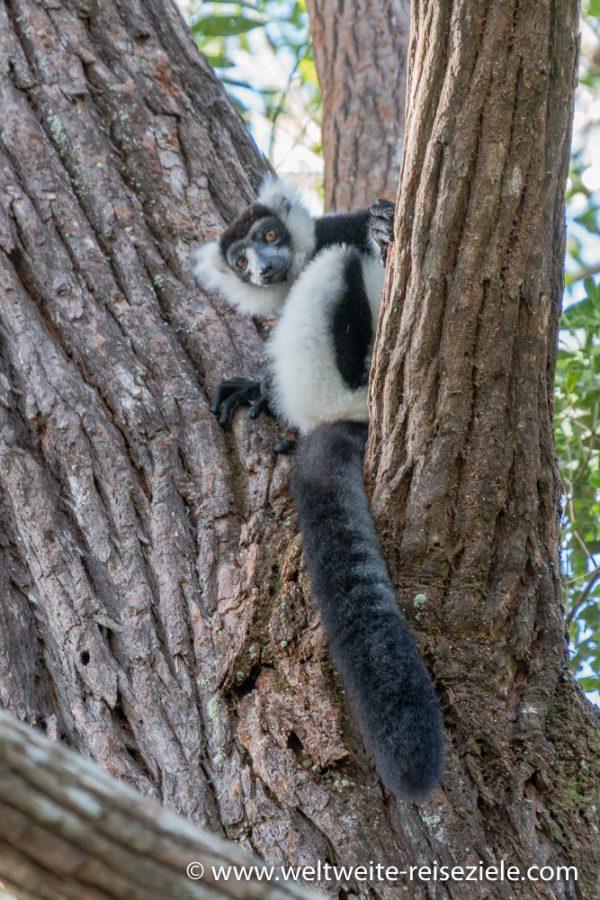 Schwarzweisser Lemur, Vari, Madagaskar