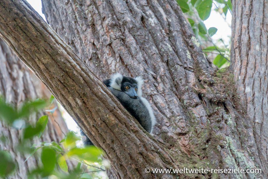 Vakona Park, Schwarzweisser Lemur