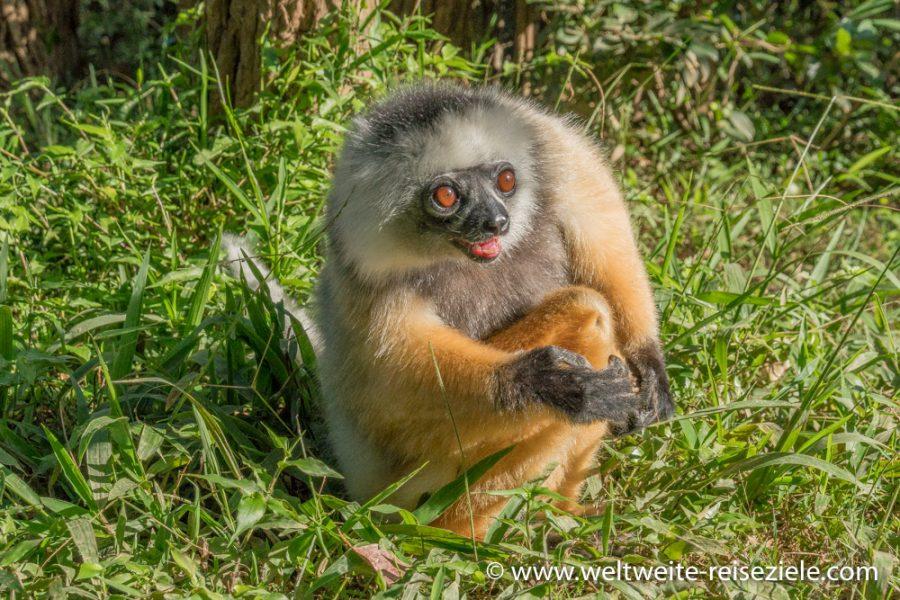 Lemur Diademsifaka (Propithecus diadema), Vakona Park