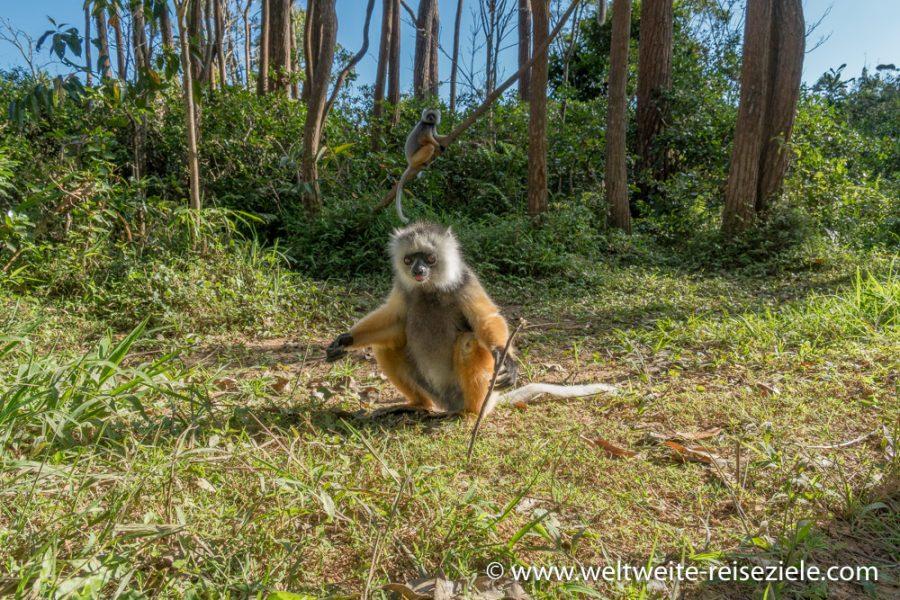 Lemur, Diademsifaka frisst ein Bananenstück