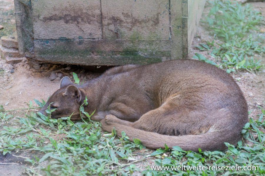 Vakona, Fossa, Cryptoprocta ferox, Katze aus Madagaskar,