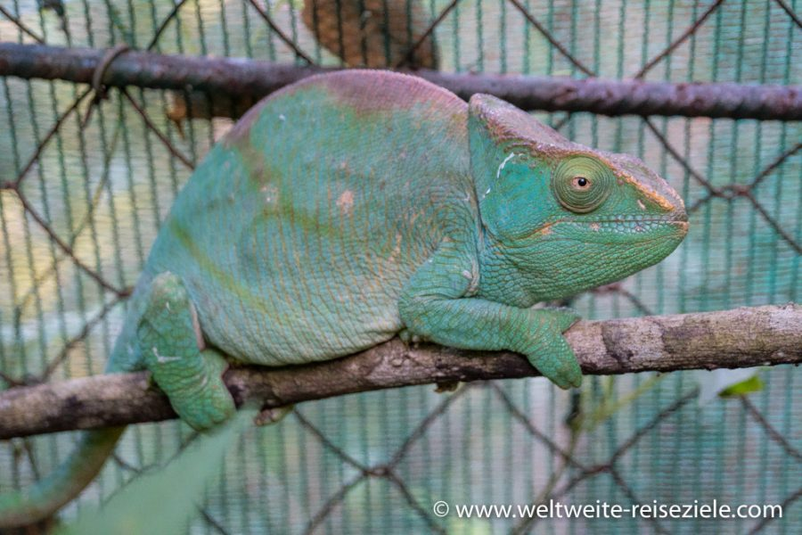 Grosses grünes Chamäleon, Madagascar