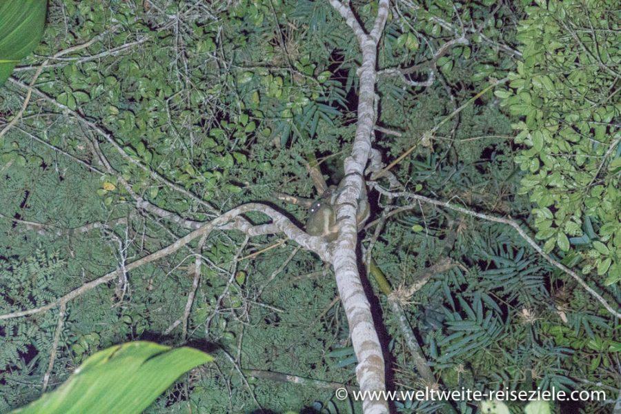 Lemuren nachts auf einem Baum, Analamazaotra