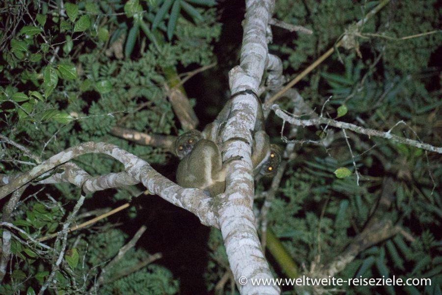 Lemuren auf einer Nachtwanderung, Madagaskar